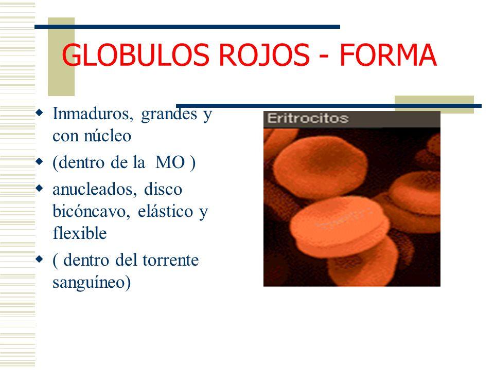 GLOBULOS ROJOS - FORMA Inmaduros, grandes y con núcleo (dentro de la MO ) anucleados, disco bicóncavo, elástico y flexible ( dentro del torrente sangu