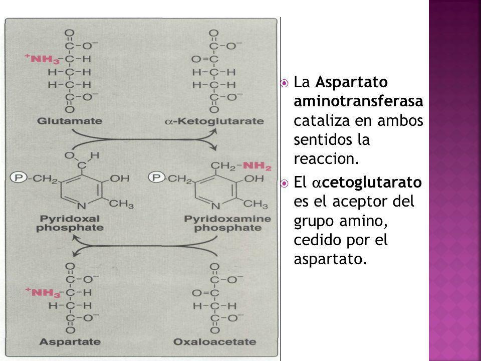 La Aspartato aminotransferasa cataliza en ambos sentidos la reaccion. El cetoglutarato es el aceptor del grupo amino, cedido por el aspartato.