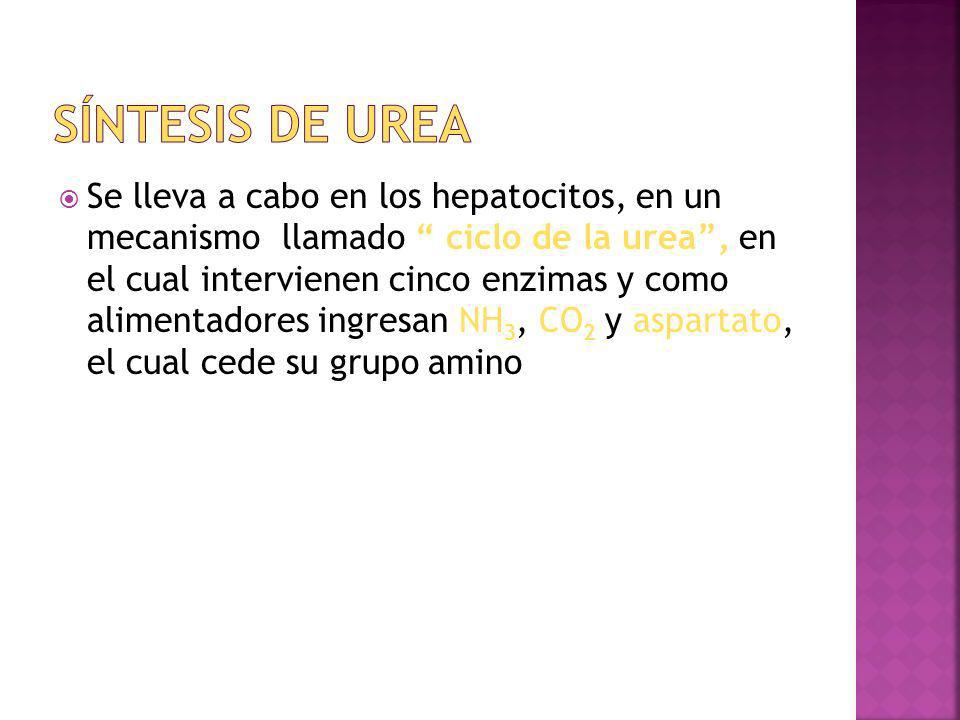 Se lleva a cabo en los hepatocitos, en un mecanismo llamado ciclo de la urea, en el cual intervienen cinco enzimas y como alimentadores ingresan NH 3,