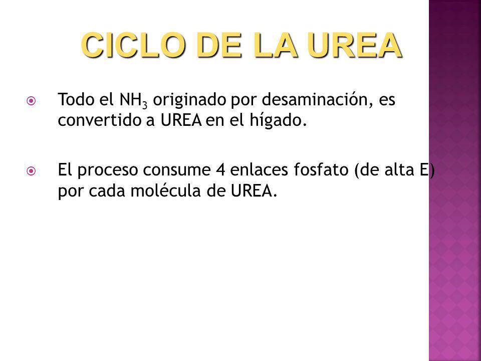 Todo el NH 3 originado por desaminación, es convertido a UREA en el hígado. El proceso consume 4 enlaces fosfato (de alta E) por cada molécula de UREA