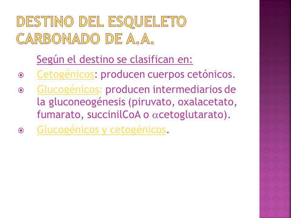 Según el destino se clasifican en: Cetogénicos: producen cuerpos cetónicos. Glucogénicos: producen intermediarios de la gluconeogénesis (piruvato, oxa