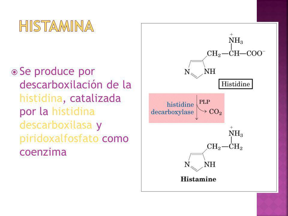 Se produce por descarboxilación de la histidina, catalizada por la histidina descarboxilasa y piridoxalfosfato como coenzima