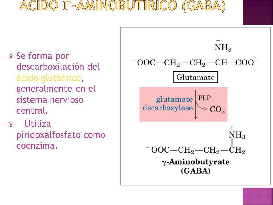 Se forma por descarboxilación del ácido glutámico, generalmente en el sistema nervioso central. Utiliza piridoxalfosfato como coenzima.