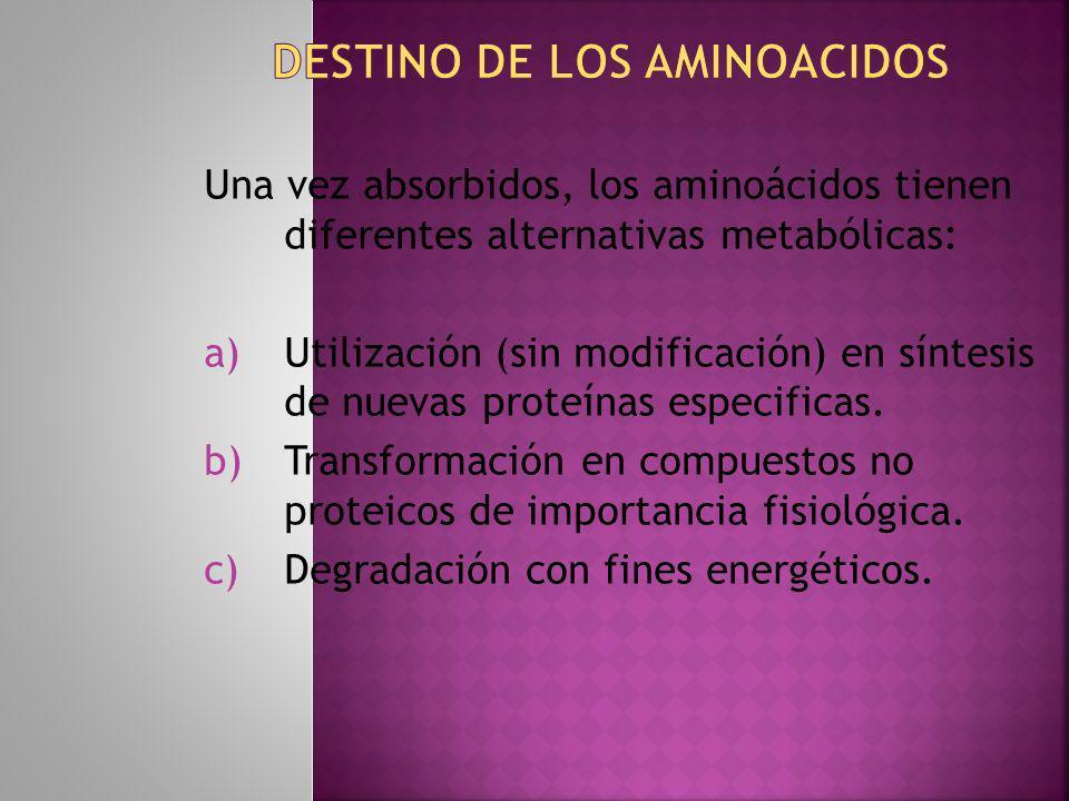 Una vez absorbidos, los aminoácidos tienen diferentes alternativas metabólicas: a)Utilización (sin modificación) en síntesis de nuevas proteínas espec