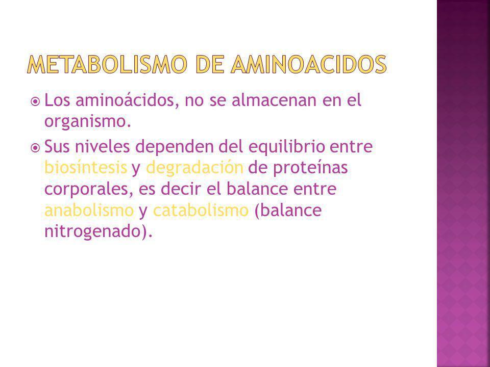 Los aminoácidos, no se almacenan en el organismo. Sus niveles dependen del equilibrio entre biosíntesis y degradación de proteínas corporales, es deci