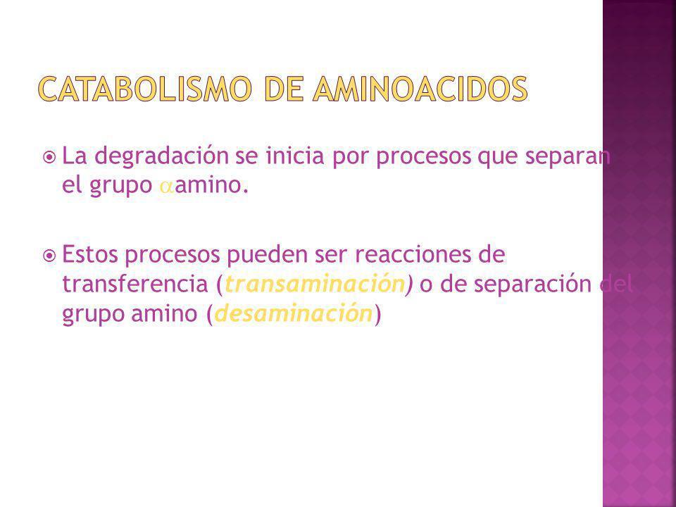 La degradación se inicia por procesos que separan el grupo amino. Estos procesos pueden ser reacciones de transferencia (transaminación) o de separaci