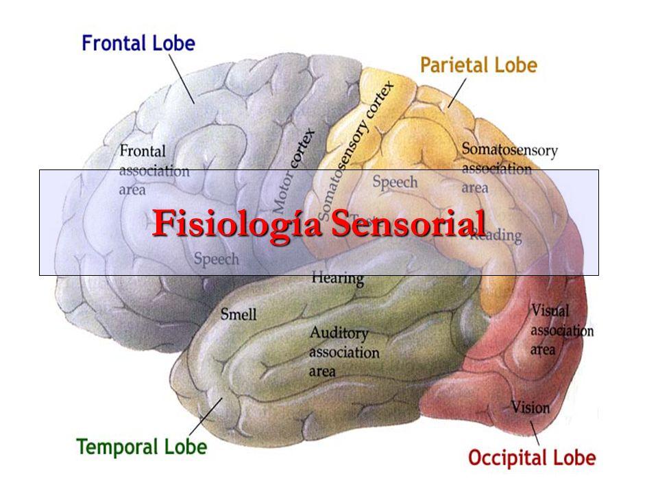 Funciones del área I de la sensibilidad somática Si se extirpa esta zona: 1.La persona no sabe con exactitud de donde vienen las diferentes sensaciones del cuerpo, 2.No percibe los grados críticos de presión.