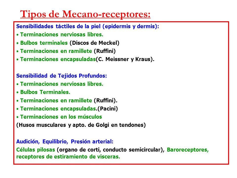 Tipos de Mecano-receptores: Sensibilidades táctiles de la piel (epidermis y dermis): Terminaciones nerviosas libres.
