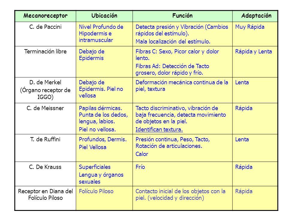 MecanoreceptorUbicaciónFunción Adaptación C.