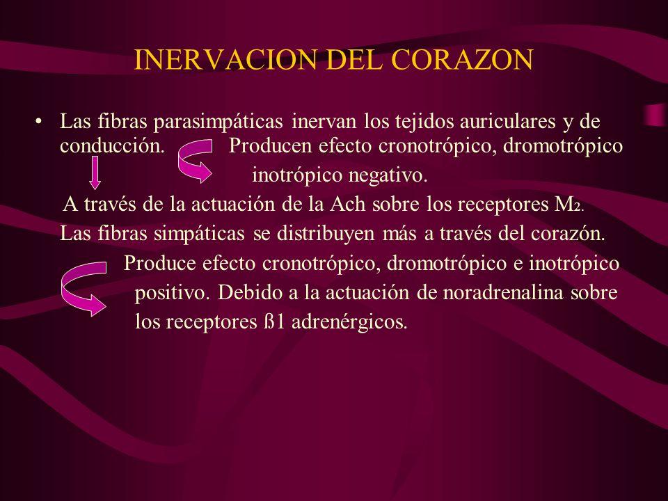 INERVACION DEL CORAZON Las fibras parasimpáticas inervan los tejidos auriculares y de conducción. Producen efecto cronotrópico, dromotrópico inotrópic