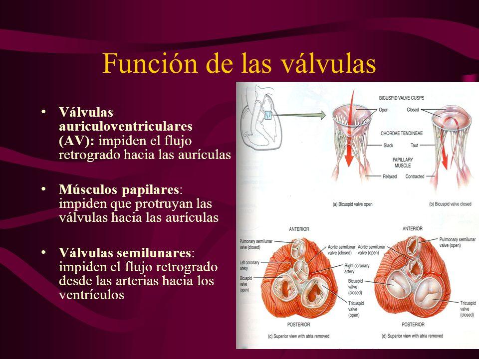 Función de las válvulas Válvulas auriculoventriculares (AV): impiden el flujo retrogrado hacia las aurículas Músculos papilares: impiden que protruyan