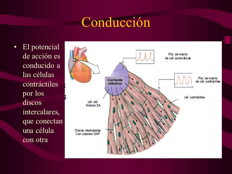 Conducción El potencial de acción es conducido a las células contráctiles por los discos intercalares, que conectan una célula con otra