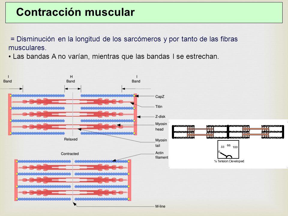 = Disminución en la longitud de los sarcómeros y por tanto de las fibras musculares. Las bandas A no varían, mientras que las bandas I se estrechan. C
