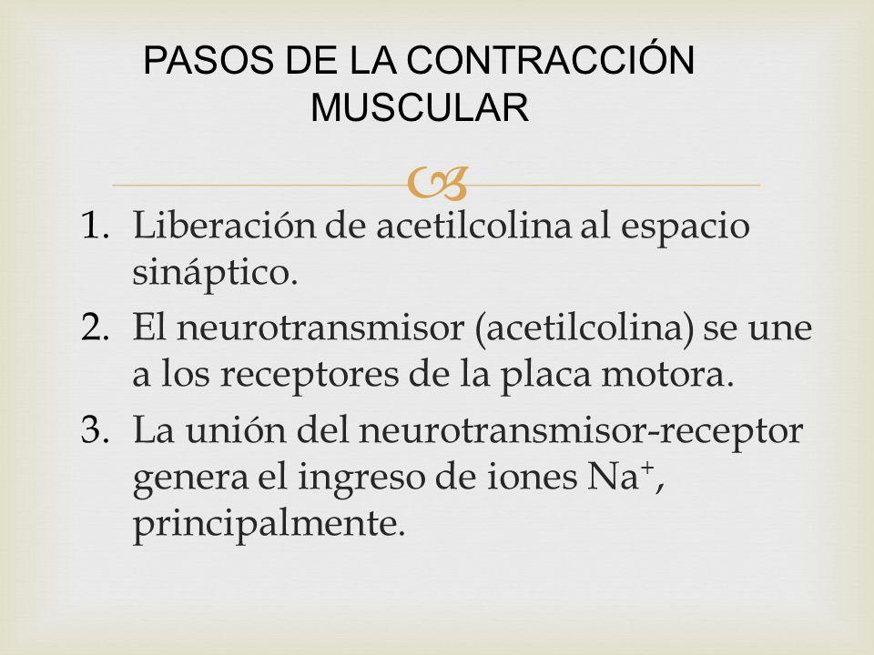 1.Liberación de acetilcolina al espacio sináptico. 2.El neurotransmisor (acetilcolina) se une a los receptores de la placa motora. 3.La unión del neur