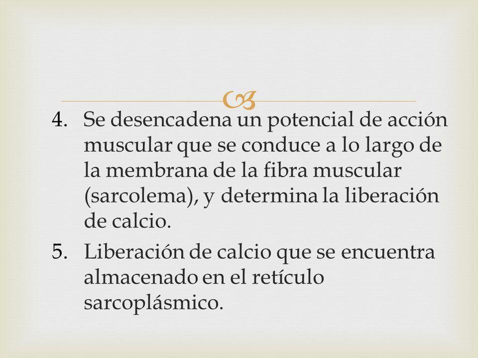 4.Se desencadena un potencial de acción muscular que se conduce a lo largo de la membrana de la fibra muscular (sarcolema), y determina la liberación