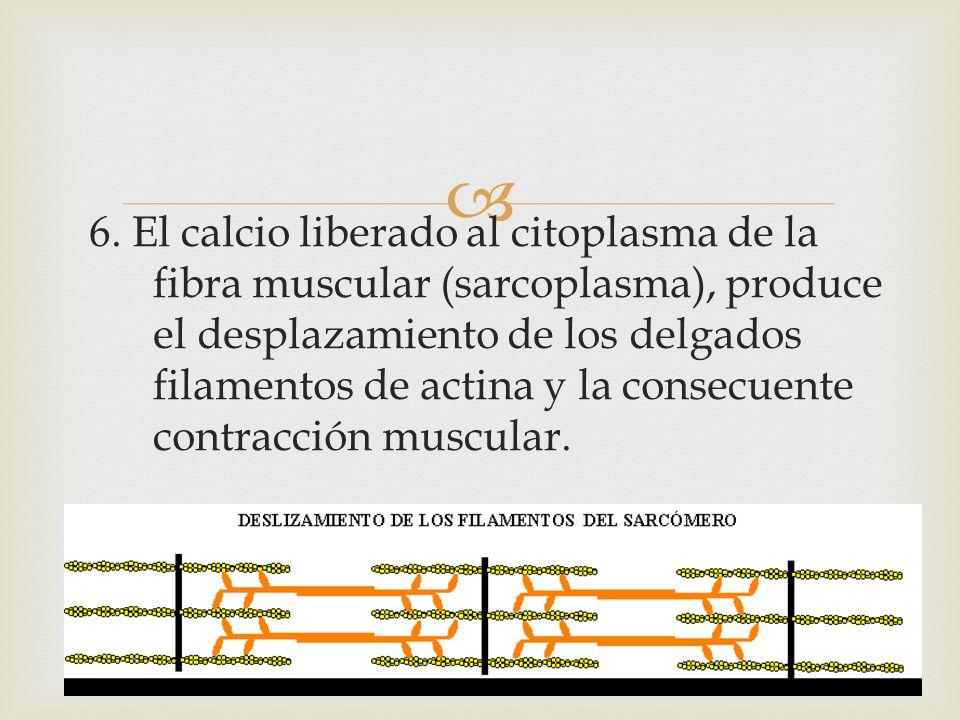 6. El calcio liberado al citoplasma de la fibra muscular (sarcoplasma), produce el desplazamiento de los delgados filamentos de actina y la consecuent