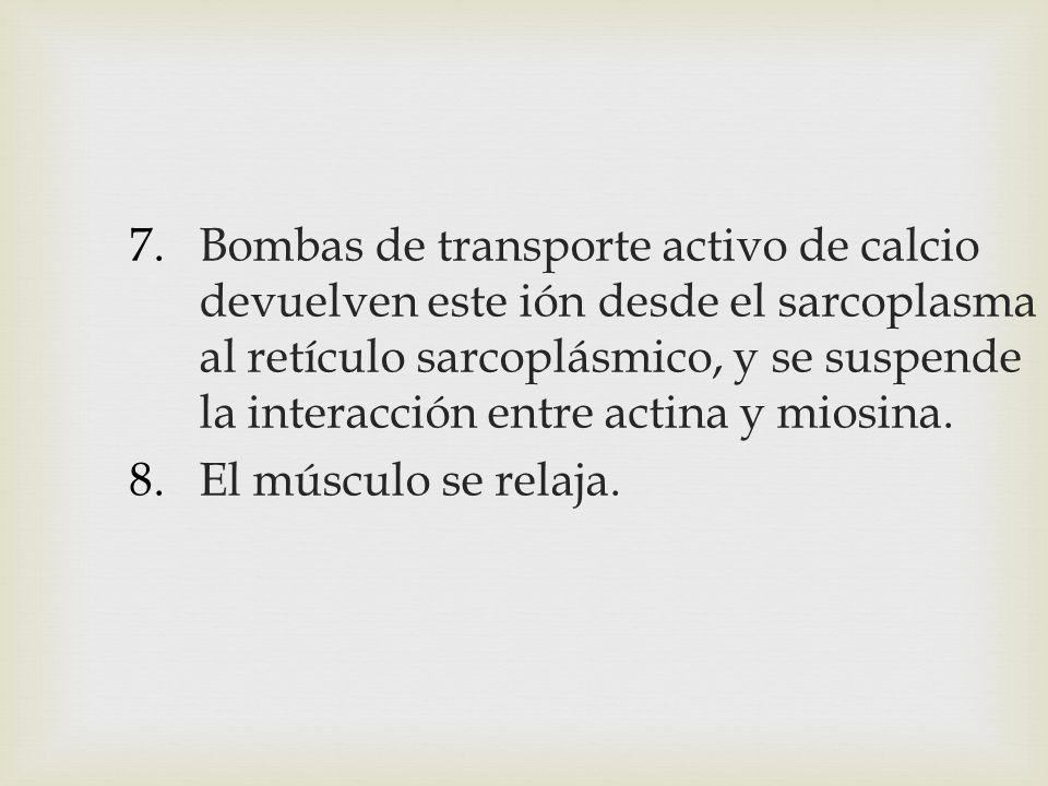 7.Bombas de transporte activo de calcio devuelven este ión desde el sarcoplasma al retículo sarcoplásmico, y se suspende la interacción entre actina y