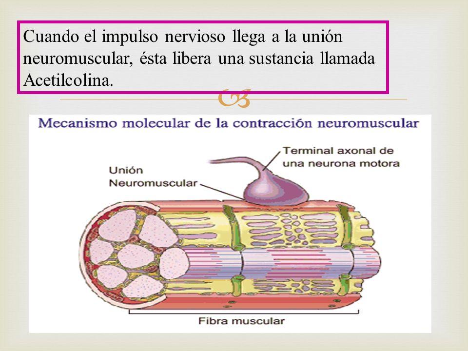 Cuando el impulso nervioso llega a la unión neuromuscular, ésta libera una sustancia llamada Acetilcolina.