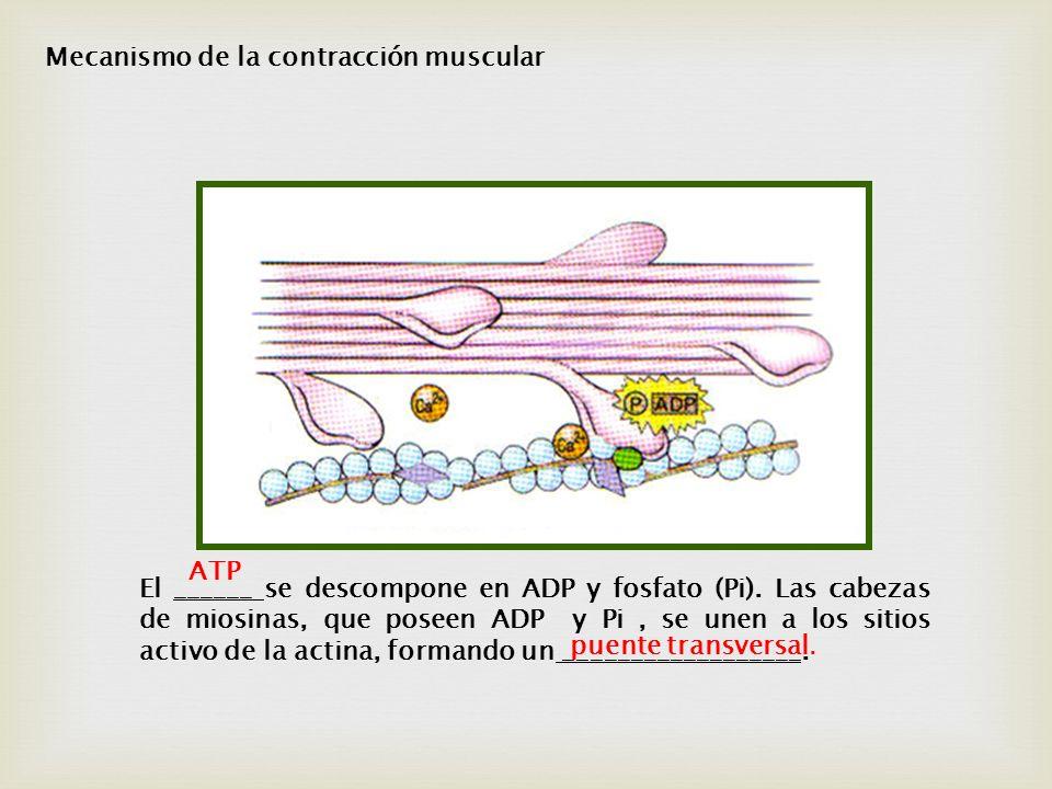 El ______ se descompone en ADP y fosfato (Pi). Las cabezas de miosinas, que poseen ADP y Pi, se unen a los sitios activo de la actina, formando un ___