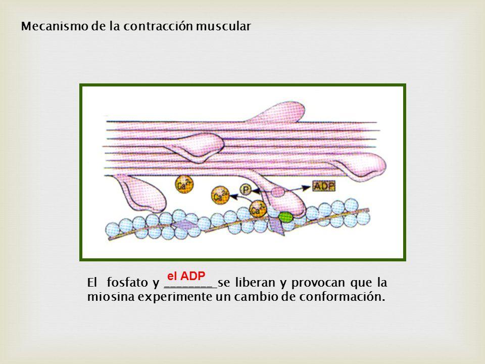 El fosfato y ________ se liberan y provocan que la miosina experimente un cambio de conformación. el ADP Mecanismo de la contracción muscular