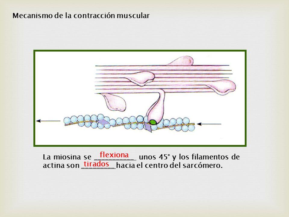 La miosina se ___________ unos 45° y los filamentos de actina son _________ hacia el centro del sarcómero. flexiona tirados Mecanismo de la contracció
