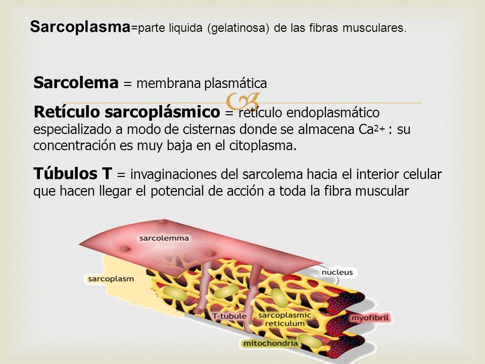Sarcolema = membrana plasmática Retículo sarcoplásmico = retículo endoplasmático especializado a modo de cisternas donde se almacena Ca 2+ : su concen