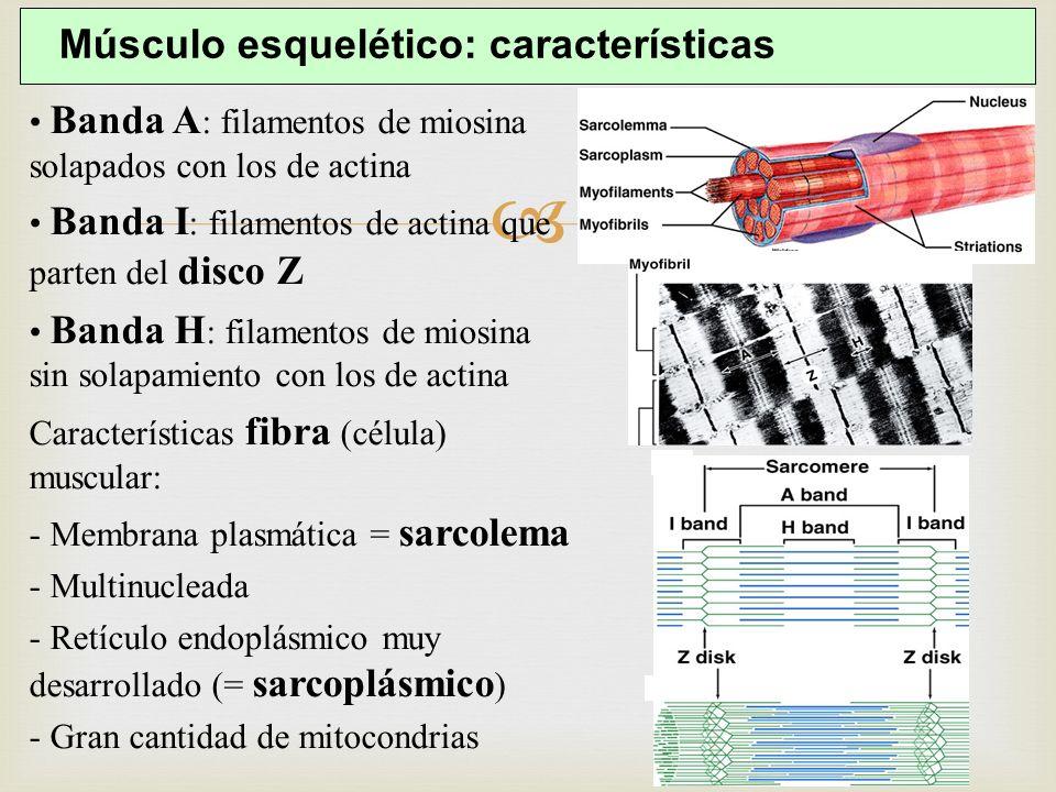 Músculo esquelético: características Banda A : filamentos de miosina solapados con los de actina Banda I : filamentos de actina que parten del disco Z