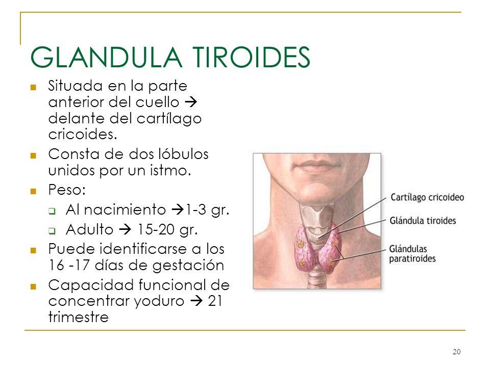 20 GLANDULA TIROIDES Situada en la parte anterior del cuello delante del cartílago cricoides. Consta de dos lóbulos unidos por un istmo. Peso: Al naci