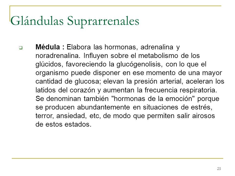 25 Médula : Elabora las hormonas, adrenalina y noradrenalina. Influyen sobre el metabolismo de los glúcidos, favoreciendo la glucógenolisis, con lo qu