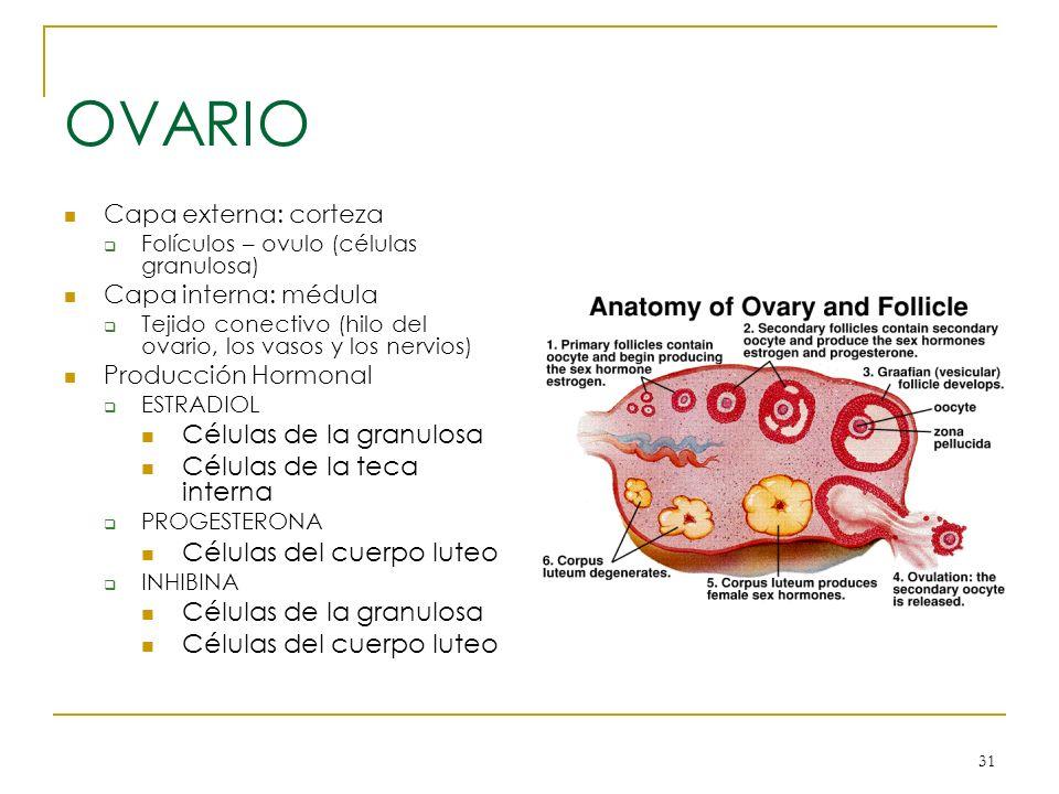 31 OVARIO Capa externa: corteza Folículos – ovulo (células granulosa) Capa interna: médula Tejido conectivo (hilo del ovario, los vasos y los nervios)