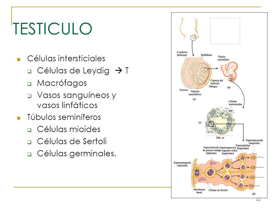32 TESTICULO Células intersticiales Células de Leydig T Macrófagos Vasos sanguíneos y vasos linfáticos Túbulos seminíferos Células mioides Células de