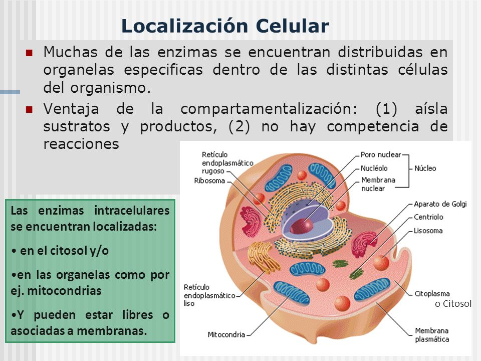 Localización Celular Muchas de las enzimas se encuentran distribuidas en organelas especificas dentro de las distintas células del organismo. Ventaja