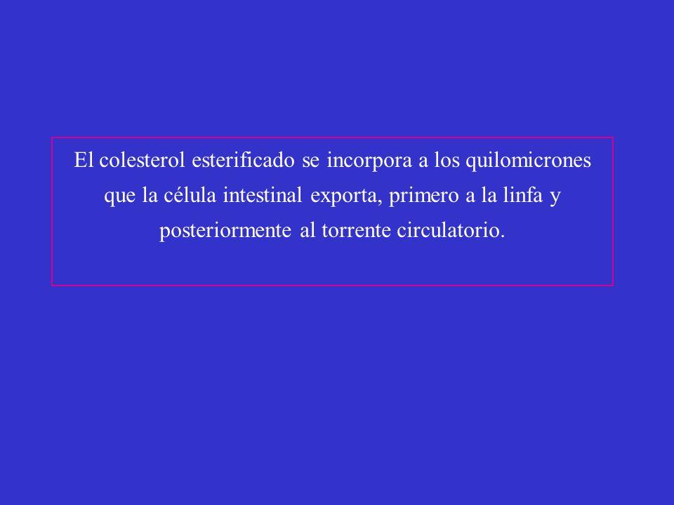El colesterol esterificado se incorpora a los quilomicrones que la célula intestinal exporta, primero a la linfa y posteriormente al torrente circulat