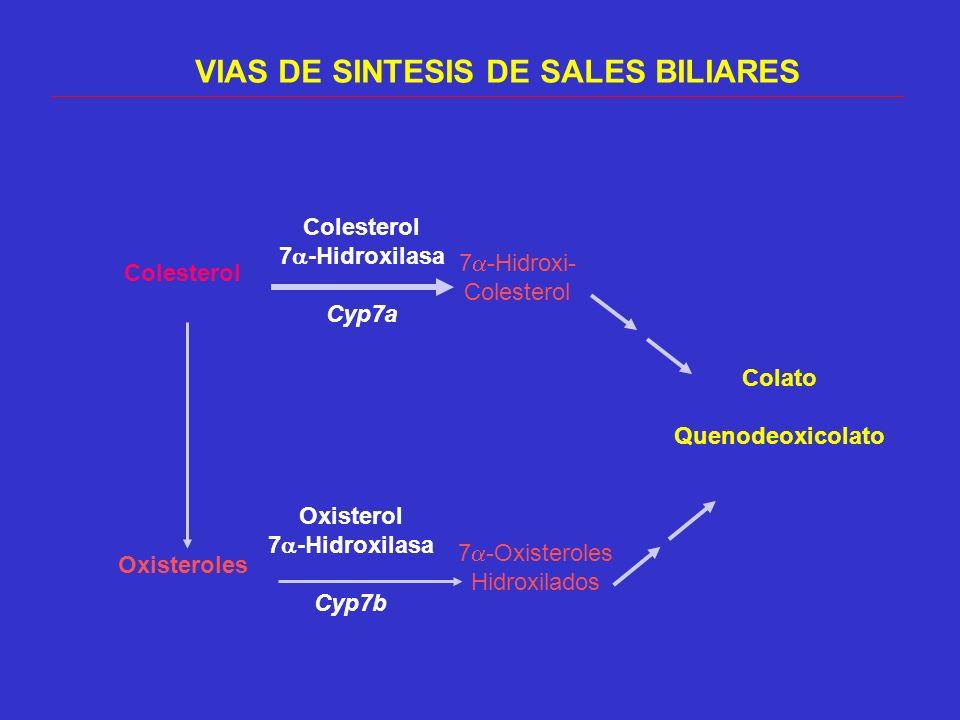 VIAS DE SINTESIS DE SALES BILIARES Colesterol Oxisteroles 7 -Hidroxi- Colesterol 7 -Oxisteroles Hidroxilados Colesterol 7 -Hidroxilasa Cyp7a Oxisterol