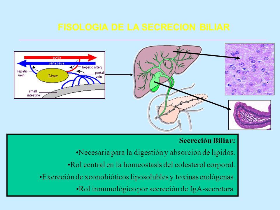 Secreción Biliar: Necesaria para la digestión y absorción de lípidos. Rol central en la homeostasis del colesterol corporal. Excreción de xeonobiótico