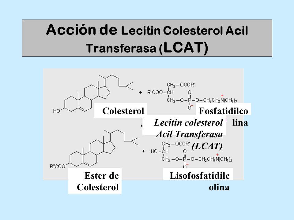Acción de Lecitin Colesterol Acil Transferasa ( LCAT) Colesterol Ester de Colesterol Lecitin colesterol Acil Transferasa (LCAT) Fosfatidilco lina Liso