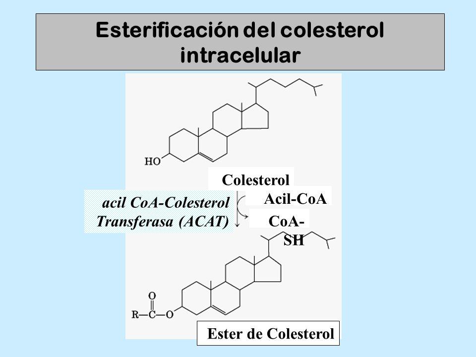 Esterificación del colesterol intracelular Colesterol acil CoA-Colesterol Transferasa (ACAT) Acil-CoA CoA- SH Ester de Colesterol