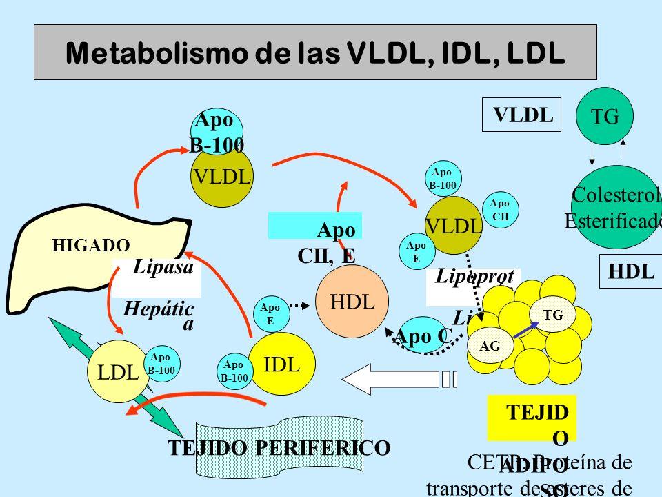 IDL Metabolismo de las VLDL, IDL, LDL HIGADO VLDL HDL VLDL Lipasa Hepátic a TEJIDO PERIFERICO Apo CII, E Lipoprot eín Lipasa TEJID O ADIPO SO TG AG Ap