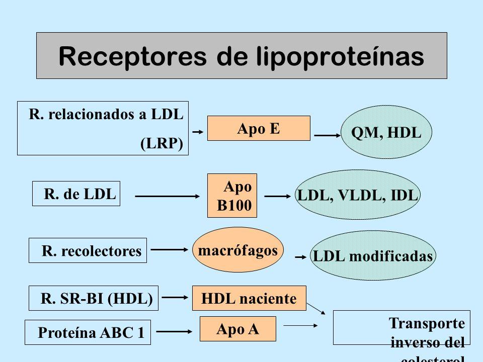 Receptores de lipoproteínas R. relacionados a LDL (LRP) R. de LDL R. recolectores Apo B100 LDL, VLDL, IDL Apo E QM, HDL LDL modificadas macrófagos Pro