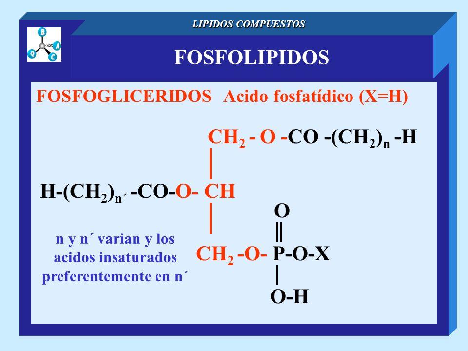 FOSFOLIPIDOS LIPIDOS COMPUESTOS FOSFOGLICERIDOS Acido fosfatídico (X=H) CH 2 - O -CO -(CH 2 ) n -H H-(CH 2 ) n´ -CO-O- CH O-H O CH 2 -O- P-O-X n y n´