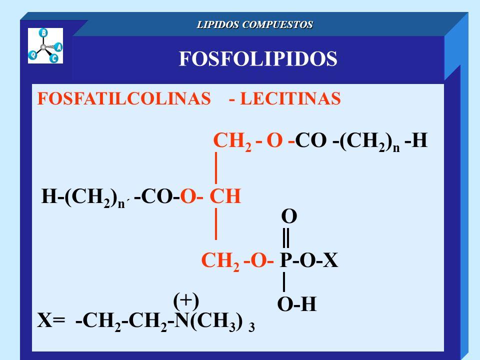 FOSFOLIPIDOS LIPIDOS COMPUESTOS FOSFATILCOLINAS - LECITINAS CH 2 - O -CO -(CH 2 ) n -H H-(CH 2 ) n´ -CO-O- CH O-H O CH 2 -O- P-O-X X= -CH 2 -CH 2 -N(C