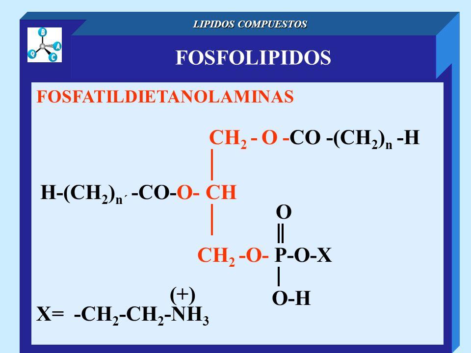 FOSFOLIPIDOS LIPIDOS COMPUESTOS FOSFATILDIETANOLAMINAS CH 2 - O -CO -(CH 2 ) n -H H-(CH 2 ) n´ -CO-O- CH O-H O CH 2 -O- P-O-X X= -CH 2 -CH 2 -NH 3 (+)