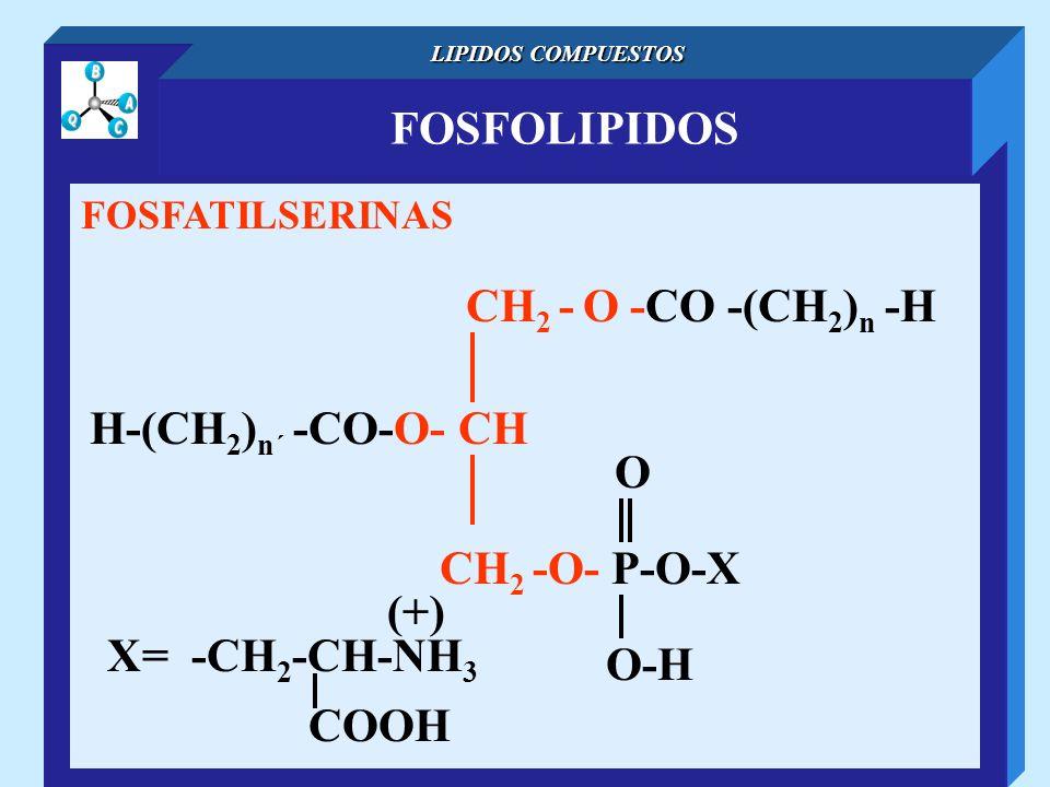 FOSFOLIPIDOS LIPIDOS COMPUESTOS FOSFATILSERINAS CH 2 - O -CO -(CH 2 ) n -H H-(CH 2 ) n´ -CO-O- CH O-H O CH 2 -O- P-O-X X= -CH 2 -CH-NH 3 (+) COOH