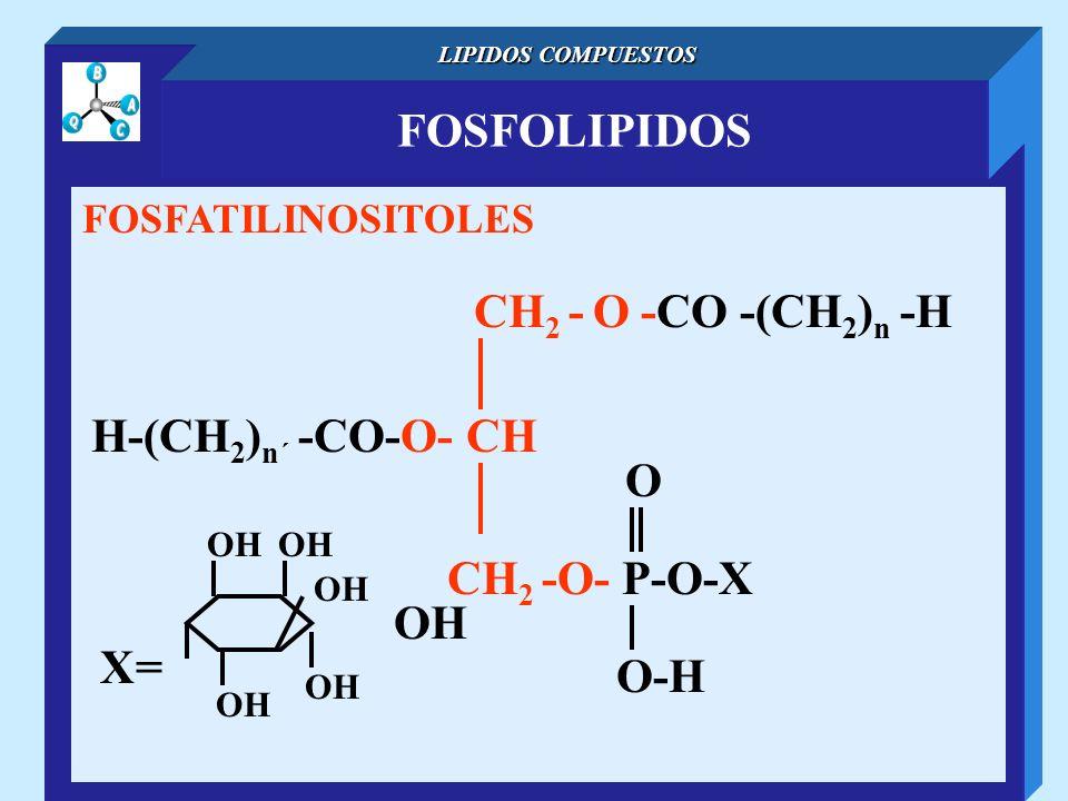 FOSFOLIPIDOS LIPIDOS COMPUESTOS FOSFATILINOSITOLES CH 2 - O -CO -(CH 2 ) n -H H-(CH 2 ) n´ -CO-O- CH O-H O CH 2 -O- P-O-X X= OH