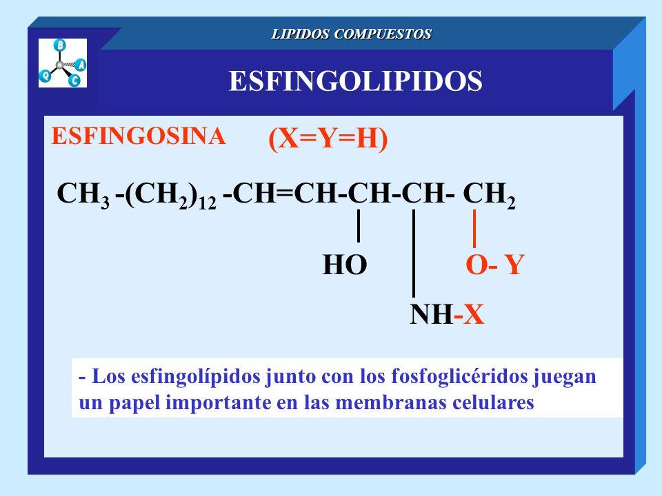 ESFINGOLIPIDOS LIPIDOS COMPUESTOS ESFINGOSINA CH 3 -(CH 2 ) 12 -CH=CH-CH-CH- CH 2 NH-X O- YHO (X=Y=H) - Los esfingolípidos junto con los fosfoglicérid