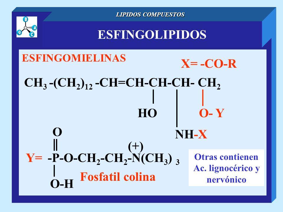 ESFINGOLIPIDOS LIPIDOS COMPUESTOS ESFINGOMIELINAS CH 3 -(CH 2 ) 12 -CH=CH-CH-CH- CH 2 NH-X O- YHO X= -CO-R Otras contienen Ac. lignocérico y nervónico