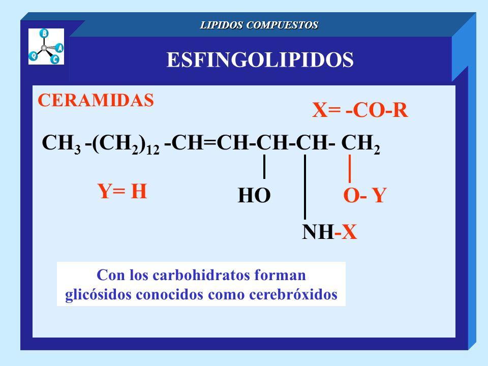 ESFINGOLIPIDOS LIPIDOS COMPUESTOS CERAMIDAS CH 3 -(CH 2 ) 12 -CH=CH-CH-CH- CH 2 NH-X O- YHO X= -CO-R Con los carbohidratos forman glicósidos conocidos
