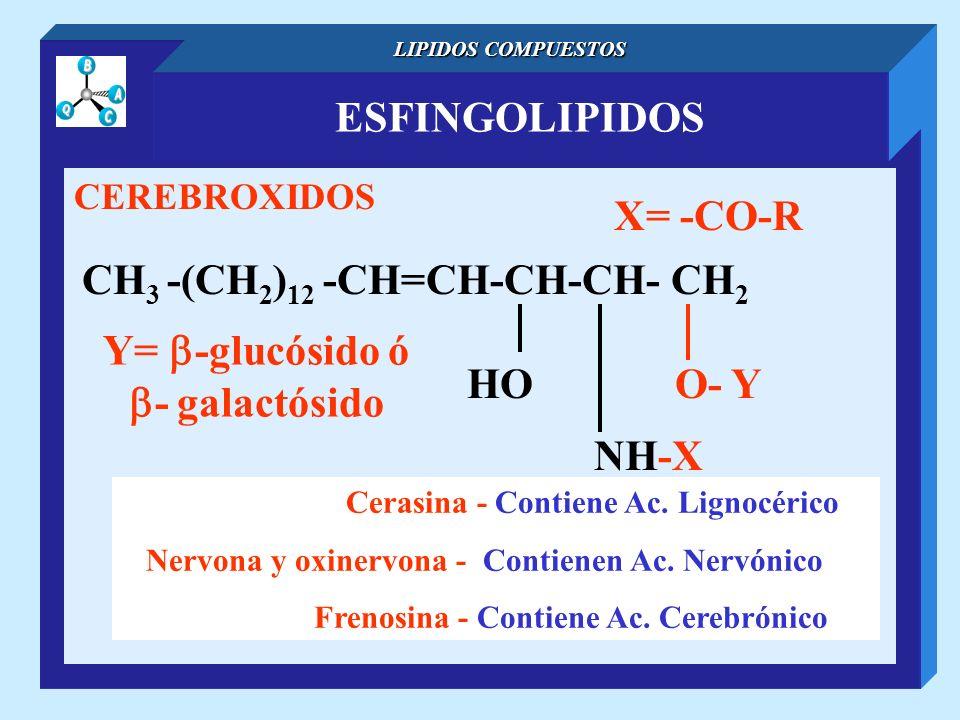 ESFINGOLIPIDOS LIPIDOS COMPUESTOS CEREBROXIDOS CH 3 -(CH 2 ) 12 -CH=CH-CH-CH- CH 2 NH-X O- YHO X= -CO-R Cerasina - Contiene Ac. Lignocérico Nervona y