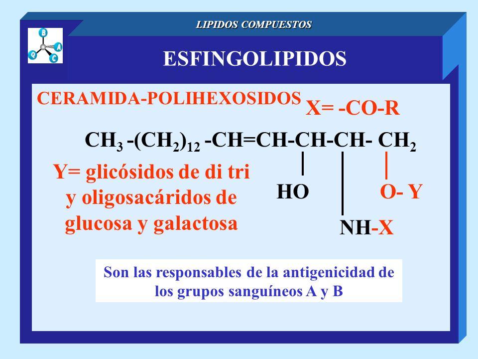 ESFINGOLIPIDOS LIPIDOS COMPUESTOS CERAMIDA-POLIHEXOSIDOS CH 3 -(CH 2 ) 12 -CH=CH-CH-CH- CH 2 NH-X O- YHO X= -CO-R Son las responsables de la antigenic