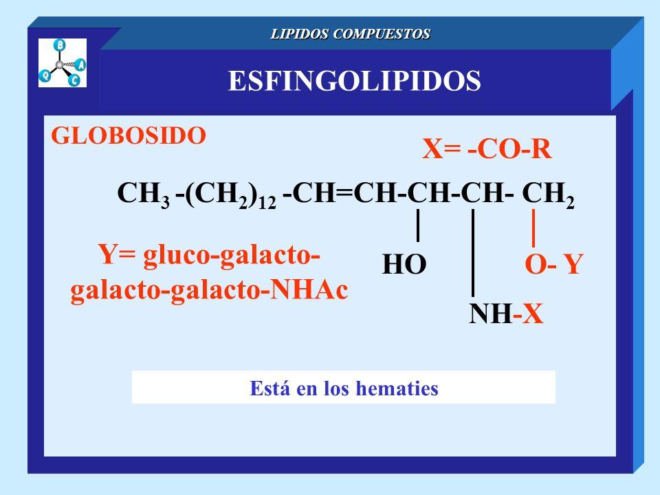 ESFINGOLIPIDOS LIPIDOS COMPUESTOS GLOBOSIDO CH 3 -(CH 2 ) 12 -CH=CH-CH-CH- CH 2 NH-X O- YHO X= -CO-R Está en los hematies Y= gluco-galacto- galacto-ga